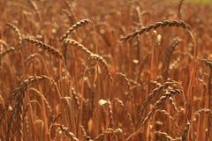 Campo di cereale, compitato, dinkel Fotografia Stock Libera da Diritti