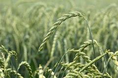 Campo di cereale, compitato, dinkel Fotografia Stock