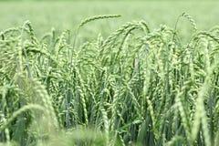 Campo di cereale, compitato, dinkel Fotografie Stock