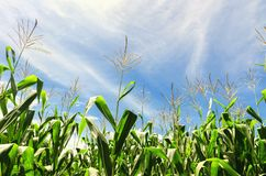 Campo di cereale con cielo blu Fotografie Stock Libere da Diritti