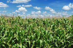 Campo di cereale con cielo blu Fotografia Stock