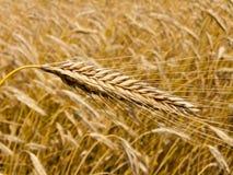 Campo di cereale con il punto dell'orzo fotografia stock libera da diritti