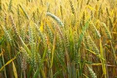 Campo di cereale con lo spica dettagliatamente Immagini Stock Libere da Diritti