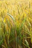 Campo di cereale con lo spica dettagliatamente Immagine Stock