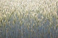 Campo di cereale con lo spica ed il germoglio strutturato Fotografia Stock