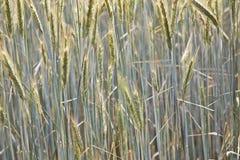 Campo di cereale con lo spica ed il germoglio strutturato Immagini Stock