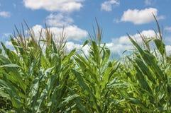 Campo di cereale crescente Fotografie Stock Libere da Diritti