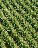 Campo di cereale da sopra Fotografia Stock Libera da Diritti