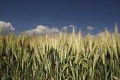 Campo di cereale dorato con cielo blu Fotografia Stock