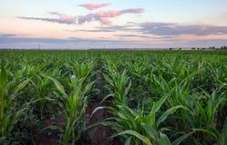 Campo di cereale durante il tramonto Fotografia Stock Libera da Diritti