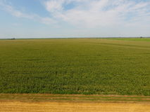 Campo di cereale e della parte del campo di grano pendente Fioriture del cereale verde sul campo Periodo di crescita e di maturaz Fotografie Stock