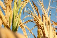 Campo di cereale giallo Fotografia Stock Libera da Diritti
