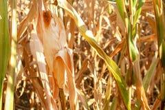 Campo di cereale giallo Fotografie Stock Libere da Diritti