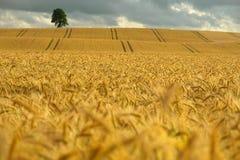 Campo di cereale giallo Immagini Stock Libere da Diritti