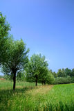 Campo di cereale, granulo della segale Fotografia Stock Libera da Diritti