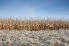 Campo di cereale in inverno Immagini Stock