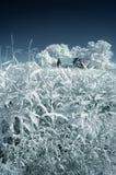 Campo di cereale nel Infrared Fotografie Stock Libere da Diritti