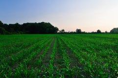 Campo di cereale verde Fotografia Stock