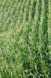 Campo di cereale verde in estate Immagini Stock