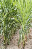 Campo di cereale verde campo di grano alto vicino nella campagna, molta mais di Yong coltivato affinchè raccolto vendano alla fab fotografia stock
