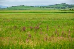 Campo di Chamaenerion su un fondo delle colline fotografia stock