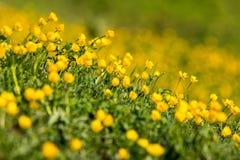 Campo di colore giallo dei ranuncoli nelle alpi europee Immagini Stock Libere da Diritti