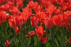 Campo di colore rosso dei tulipani Immagine Stock