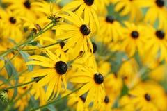 Campo di Coneflowers giallo Fotografie Stock