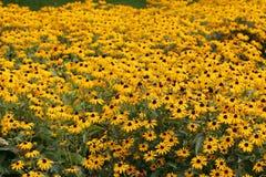 Campo di Coneflowers giallo Fotografia Stock