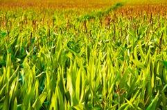 Campo di crescita del cereale Immagine Stock Libera da Diritti