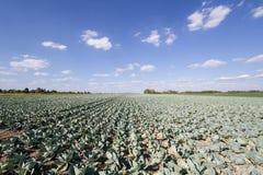 Campo di crescita di cabbage Fotografia Stock