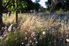 Campo di Dandellions Fotografie Stock Libere da Diritti