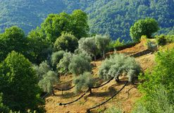 Campo di di olivo in isola mediterranea Fotografia Stock