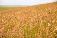 Campo di erba alta su una collina Immagini Stock