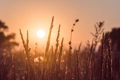 Campo di erba del fiore del primo piano e fondo di tramonto nella sera fotografia stock libera da diritti