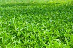 Campo di erba del Weed Fotografia Stock Libera da Diritti