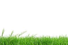 Campo di erba dell'isolato Immagine Stock