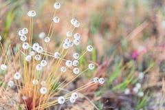 Campo di erba della natura Fiore di henryanum del Eriocaulon di Kradumngen Fotografia Stock