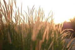 Campo di erba durante la luce solare, tramonto, aumento dell'insieme Fotografia Stock Libera da Diritti
