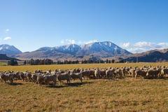Campo di erba e delle pecore in Nuova Zelanda Immagini Stock Libere da Diritti