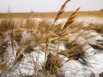 Campo di erba gialla nella neve Fotografia Stock Libera da Diritti