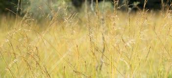 Campo di erba giallo asciutto di autunno largamente Fotografia Stock
