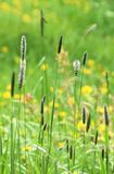 Campo di erba selvatica Fotografie Stock Libere da Diritti