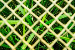 Campo di erba verde del riso con la rete bianca più vaga della corda a foreg fotografia stock
