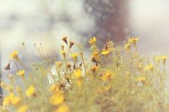 Campo di estate con il fiore giallo Fotografia Stock