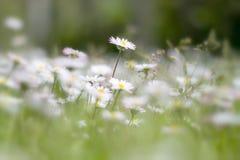 Campo di estate con le margherite bianche fotografie stock libere da diritti