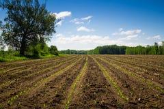 Campo di fila della piantina del cereale di agricoltura Immagine Stock