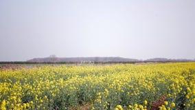 Campo di fioritura di Canola Seme di ravizzone sul campo Seme di ravizzone di fioritura video d archivio