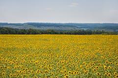 Campo di fioritura dei girasoli Fotografia Stock