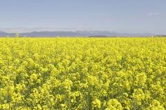 Campo di fioritura del canola o della colza del seme di ravizzone Immagine Stock Libera da Diritti